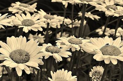 Photograph - Daisies In Sepia by Bruce Bley