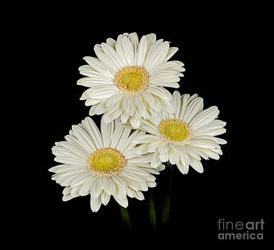 Photograph - Daisies by Larry Carr