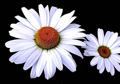 Photograph - Daisies On Black by Byron Varvarigos