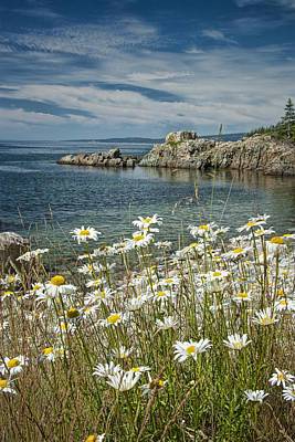 Maine Shore Photograph - Daisies On Maine's Acadia Shoreline by Randall Nyhof