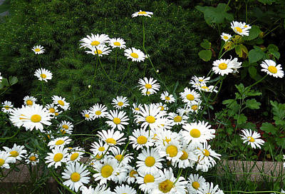 Art Print featuring the photograph Daisies by Vicky Tarcau