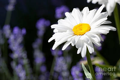 Daydreams Art Photograph - Daisy And Lavender by Cindy Singleton
