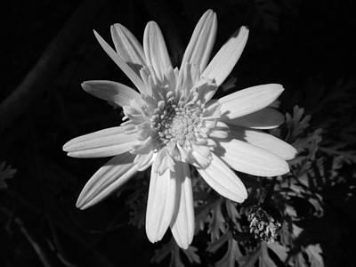 Clear Photograph - Daisy Basking In The Sun by Leana De Villiers