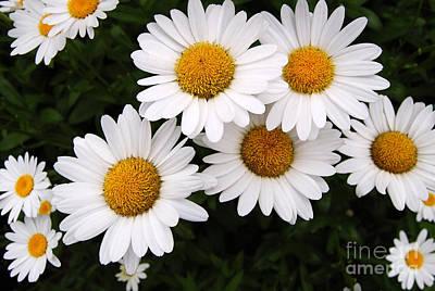 Daisy Blossoms Art Print