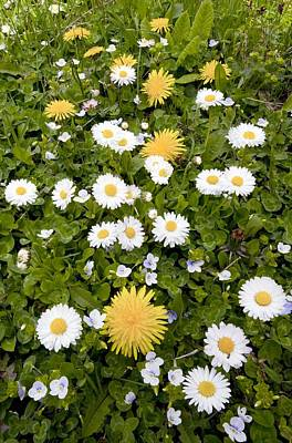 Daisy, Dandelions And Slender Speedwell Art Print by Bob Gibbons