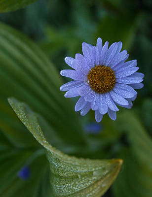 Photograph - Daisy Dew by Cheryl Perin