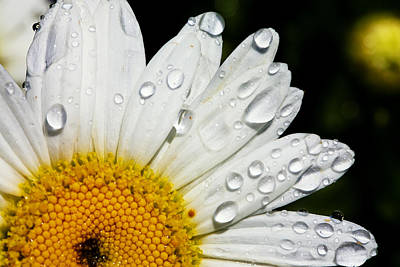 Florals Royalty-Free and Rights-Managed Images - Daisy Drops by Rick Berk