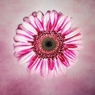 Photograph - Daisy I by Tamyra Ayles