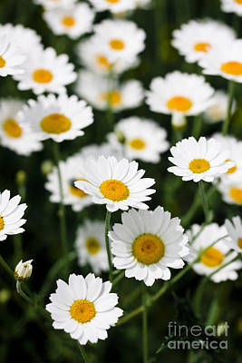 Daisy In A Field Art Print by Simon Bratt Photography LRPS