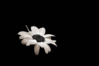 Photograph - Daisy In The Dark by Bill Pevlor