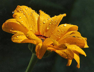 Daisy In The Rain Art Print