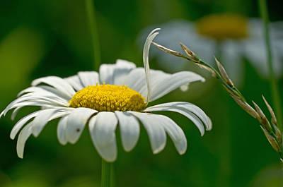 Photograph - Daisy Meet Grass by Lori Coleman