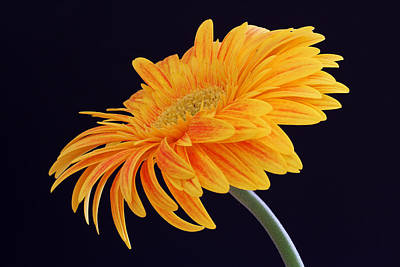 Close Up Photograph - Daisy Of Joy by Juergen Roth