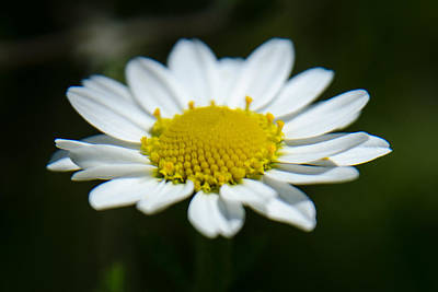 Photograph - Daisy On Green by Michael Goyberg
