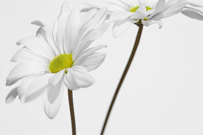 Photograph - Daisy On White 1 by Al Hurley