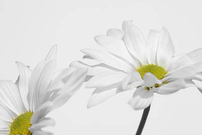 Photograph - Daisy On White 2 by Al Hurley