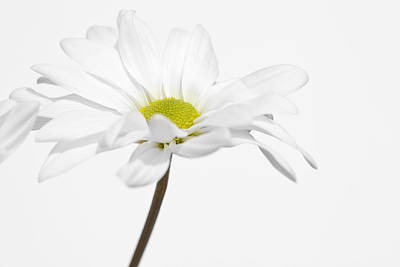 Photograph - Daisy On White 3 by Al Hurley