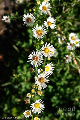 Photograph - Daisy Production Line by Susan Herber