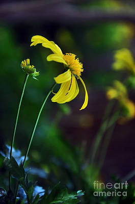 Yellow And Green Floral Photograph - Daisy Profile by Kaye Menner