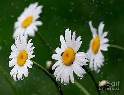 Photograph - Daisy Rain by Erica Hanel