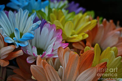 Photograph - Daisy Rainbow by Susan Herber