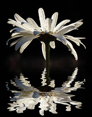 Photograph - Daisy Reflection by Jean Noren