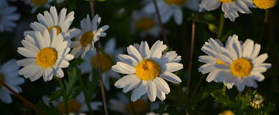 Art Print featuring the photograph Daisy by Rima Biswas