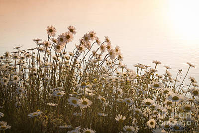 Photograph - Daisy Shore by Idaho Scenic Images Linda Lantzy