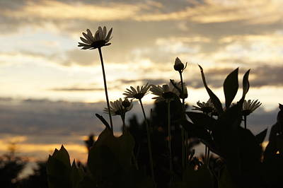 Photograph - Daisy Sunset by Angi Parks