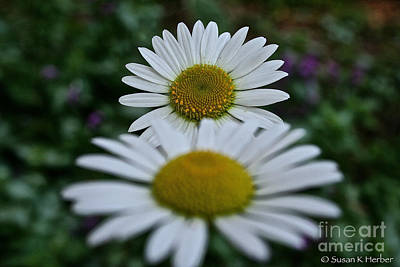 Photograph - Daisy White Spectrum by Susan Herber