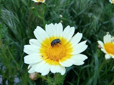Photograph - Daisy With Beetle by Steve Mangan