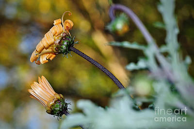Daisy Bud Photograph - Daisy With Curls by Kaye Menner