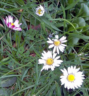 Photograph - Daisys And Clover by Julie Butterworth