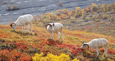 Photograph - Dall's Sheep Threesome by Alan Lenk