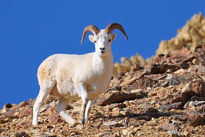 Photograph - Dall's Sheepish Stare by Alan Lenk