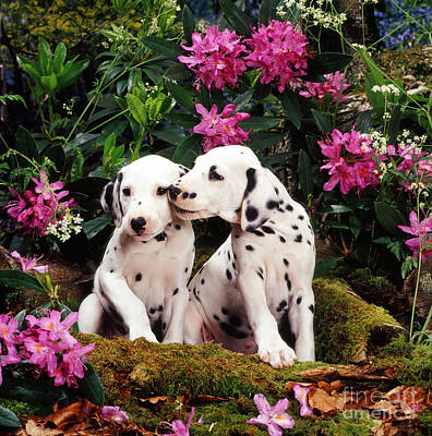 Animal Portraiture Photograph - Dalmatian Puppies by Jane Burton