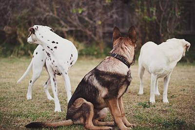 Y120817 Photograph - Dalmatian ,shepherd ,labrador Dog by S. I. Watson