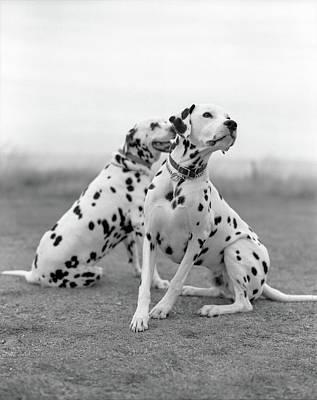 Eastbourne Photograph - Dalmatians by Tadas Kazakevicius Copyrigted