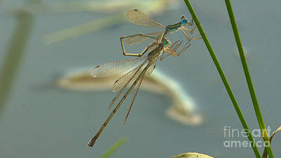 Photograph - Damselflies by Mareko Marciniak