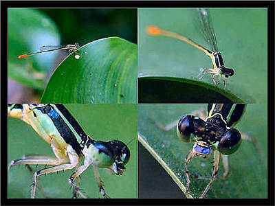 Photograph - Damselfly 2001 by Glenn Bautista