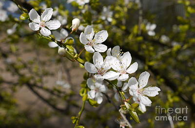 Olympic Sports - Damson Blossom by John Chatterley