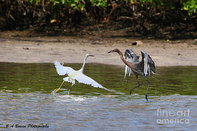 Photograph - Dancing Egrets by Barbara Bowen