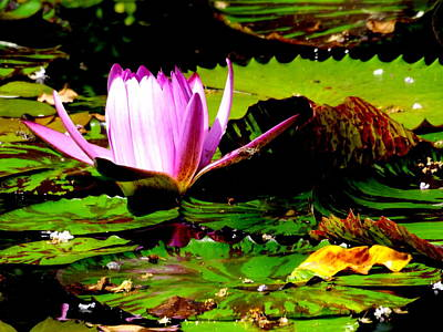 Art Print featuring the photograph Dancing Pink Water Lilly by Jodi Terracina