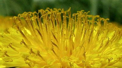 Photograph - Dandelion 3 by Fred Sheridan