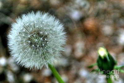Photograph - Dandelion by LR Photography