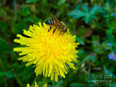Found Round And About Photograph - Dandelion And The Bee by Tisha  Clinkenbeard