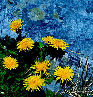 Photograph - Dandelion Blues by Christine S Zipps