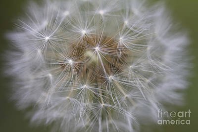 Photograph - Dandelion Clock. by Clare Bambers