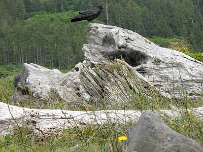 Photograph - Dandelion Crow - On Oregon Coast Driftwood  by Cliff Spohn