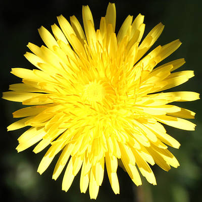 Photograph - Dandelion Detail by Mark J Seefeldt
